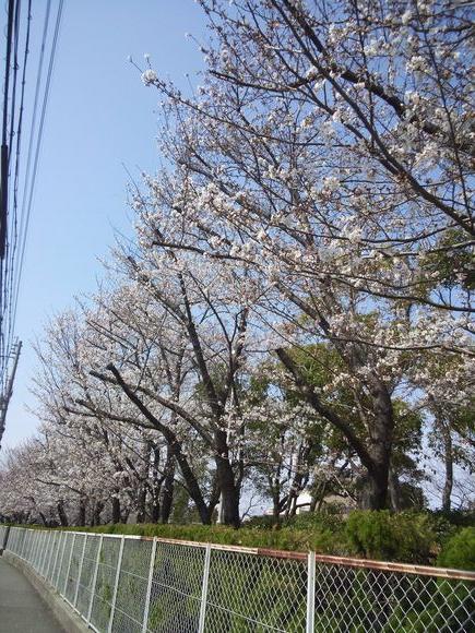 水道局の桜2