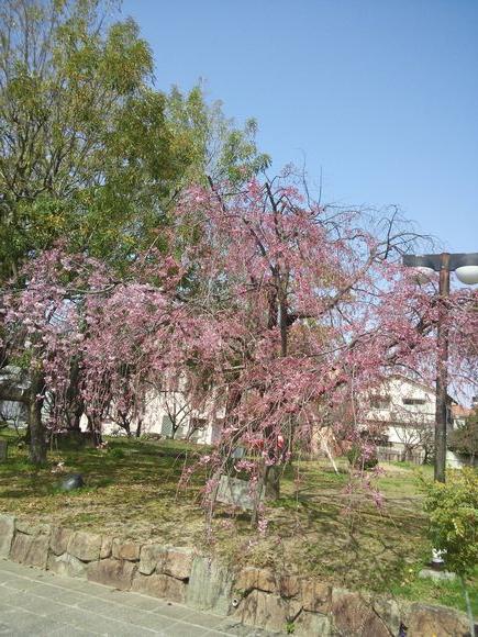市役所のしだれ桜