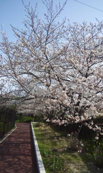 水道局の桜1