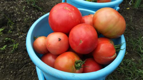 バケツ一杯のトマト
