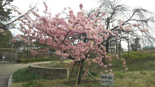 Kawadu sakura